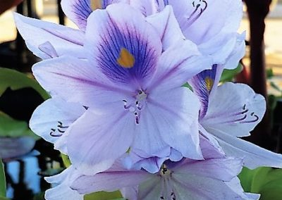 Blooming Water Hyacinth