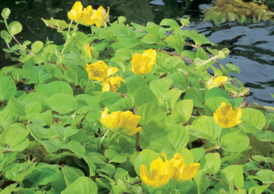 Gold Creeping Jenny