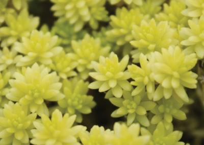 Golden Seedum Succulent