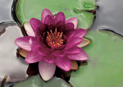 Hardy Water Lily Almost Black