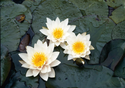 Hardy Water Lily White